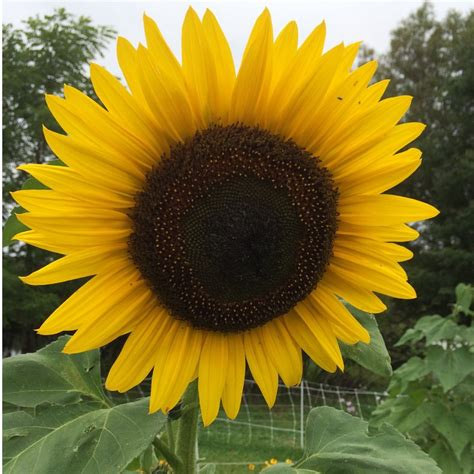 hopi black dye sunflower seeds organic hopi dye heirloom sunflower helianthus annuus 15 seeds