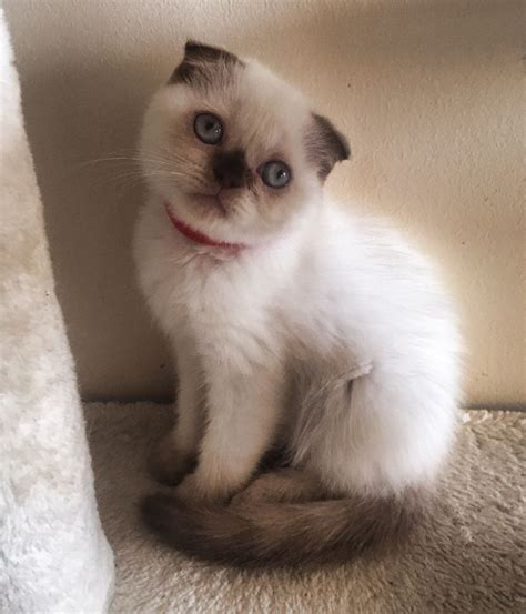 scottish colors scottish fold colors pictures to pin on pinsdaddy