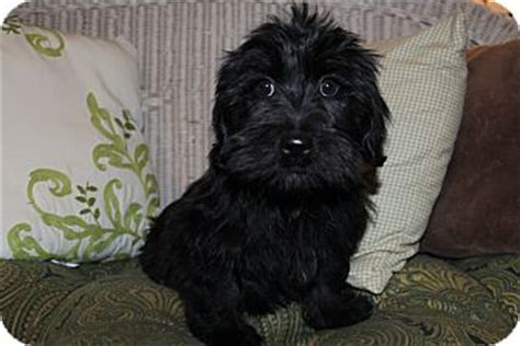 scottish terrier shih tzu mix armani adopted puppy hagerstown md scottie scottish terrier shih tzu mix