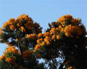 nuytsia floribunda western australian christmas tree at