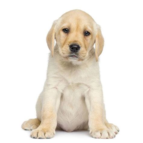 yellow lab puppy names yellow lab names for your or lab
