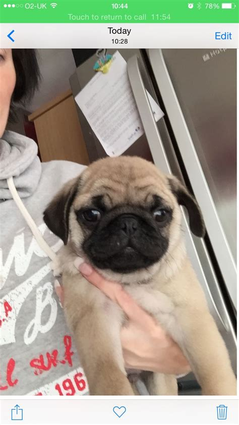 pugs for sale grimsby x1 pug kc reg fawn colour ready now grimsby lincolnshire pets4homes