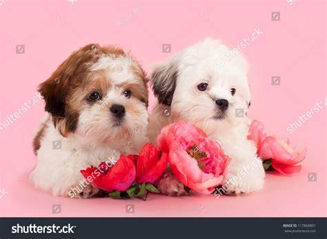 cross between maltese and shih tzu shih tzu maltese cross puppies between flowers zdjęcie stockowe 117868801