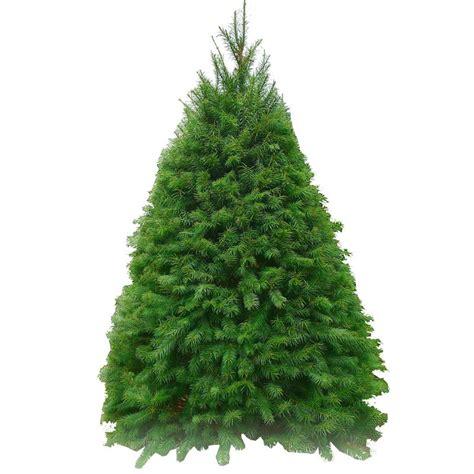 28 best noble spruce bethlehem lights 6 5 noble spruce