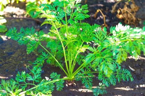 what garden vegetables like shade vegetables that grow well in the shade green home guide