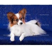Pomeranian Chihuahua Mix Puppies MEMES