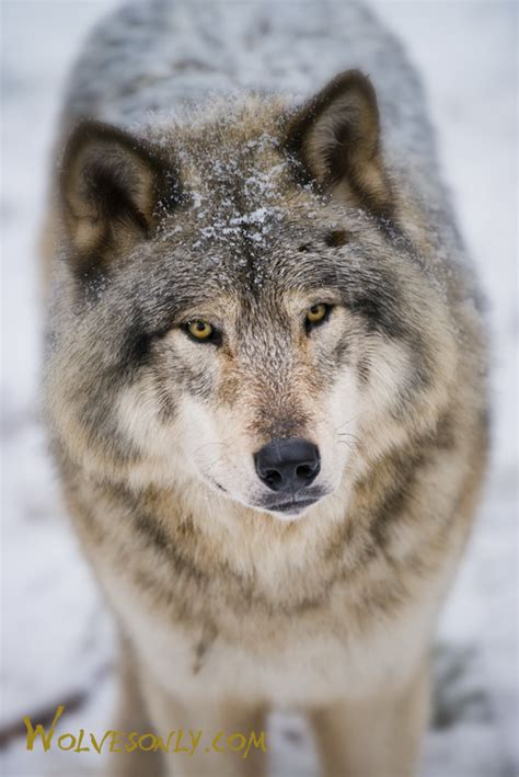 30 best stylized wolves images on wolves only timber wolf tw254
