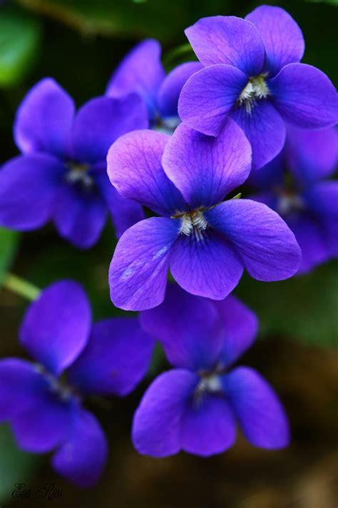Flowers Violet 25 best ideas about violets on violet