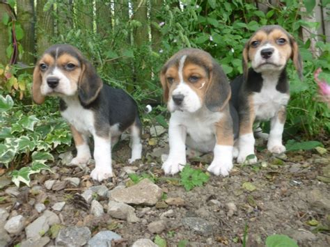 beagle puppies for sale in michigan dogs michigan free classified ads
