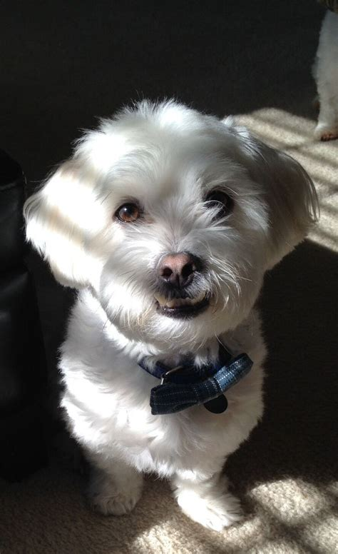 maltese shih tzu haircuts 17 best images about shih tzu haircuts on pinterest high