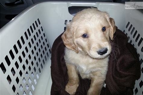 bringing home golden retriever puppy golden retriever puppy for sale near harrisburg pennsylvania 847b94a1 5671