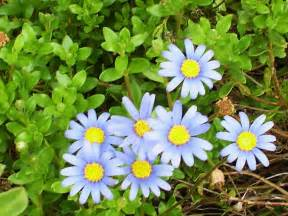 Flora and fauna images my blue daisies hd wallpaper and background