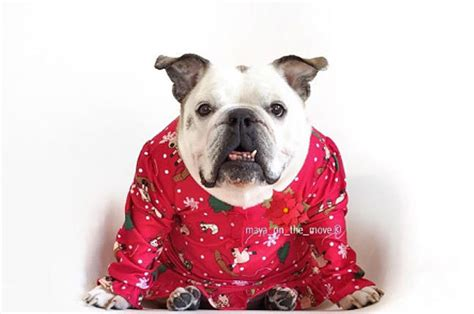 Nsweater Buldog 25 bulldogs who had a better sweater than you did