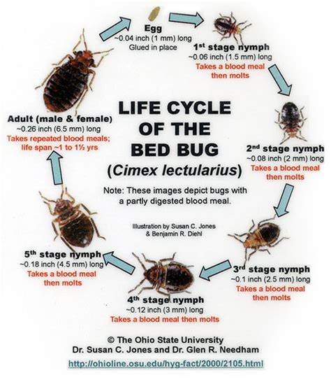bed bug life span introducing cimex lectularius
