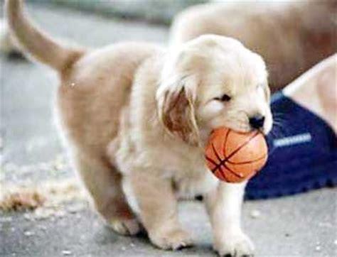 anjing golden retriever anjing golden retriever