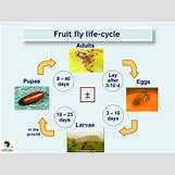 Fruit Fly Life Cycle Stages | 960 x 720 jpeg 54kB