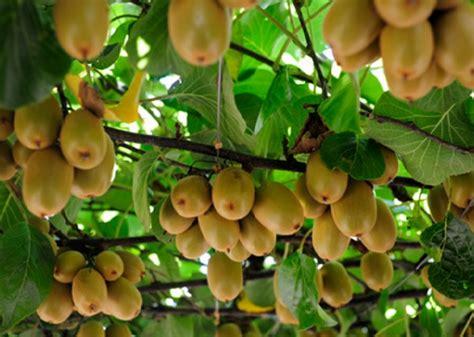 Benih Buah Kiwi cara menanam kiwi di indonesia