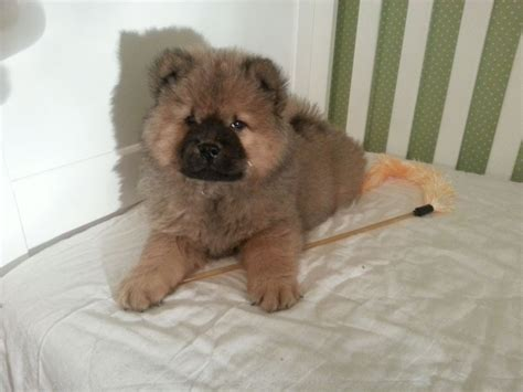 chow chow puppies for sale in hair chow chow puppies for sale