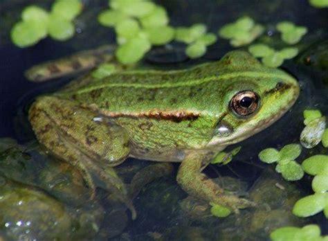 imagenes de ranitas verdes ranas mundomascota net