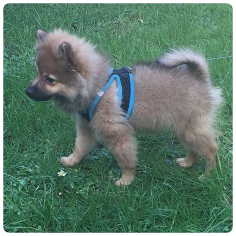 wanted pomeranian puppy 5 months pomeranian puppy for sale cardiff cardiff pets4homes