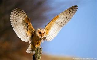 snowy barn owl interesting facts about barn owls just facts