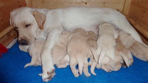 how much puppy food to feed lab puppies feeding a labrador puppy what to feed and how much pets world