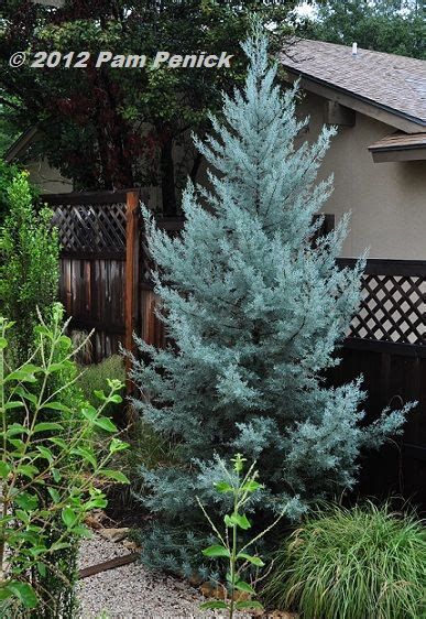 decorated blue arizona cypress arizona cypress quot blue quot drought tolerant landscapes gardens in the corner