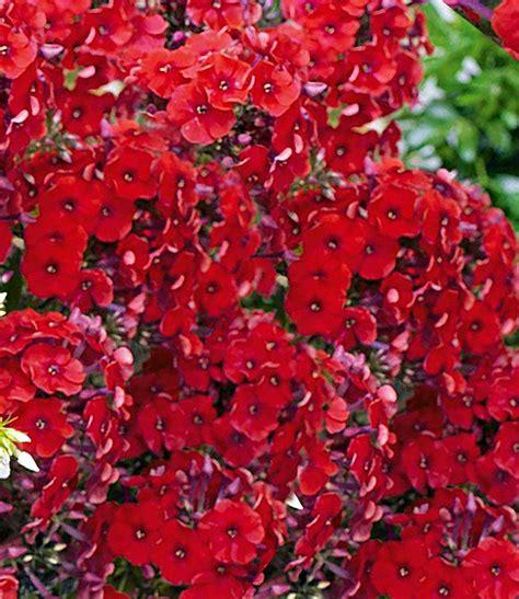 kübelpflanze winterhart sonniger standort 1598 duft phlox rot top qualit 228 t kaufen baldur garten