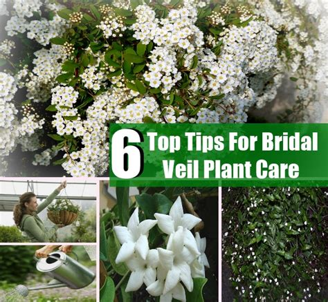 how to care for a bridal veil plant garden guides 6 top tips for bridal veil plant care diycozyworld