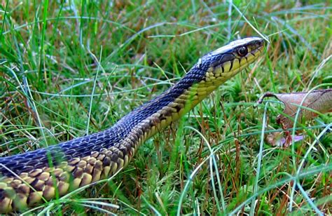 Garter Snake Live Image Of The Day Garter Snake