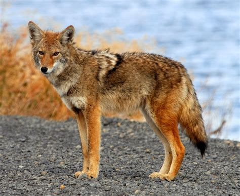 coyote images coyote animals interesting facts pictures
