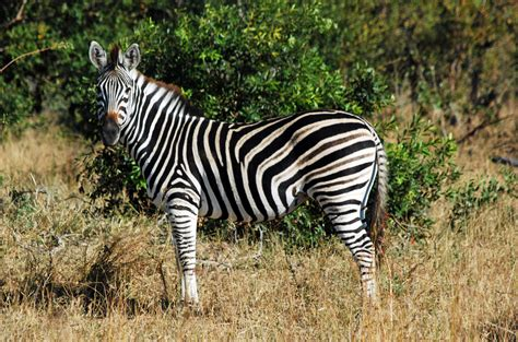 black zebra mala mala marvels jcbphotos