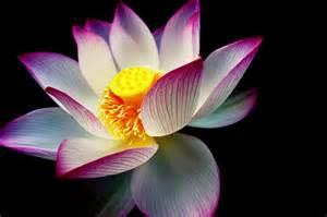 What Color Is A Lotus Flower Simbolog 237 A Loto Sagrado Y Sus Colores Un Tiempo Para