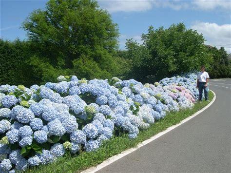 imagenes de jardines con hortensias hortensias heladas foro de infojardn
