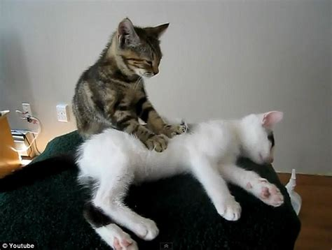 cat massaging cat feels better adorable of kitten giving his feline friend a well enjoyed