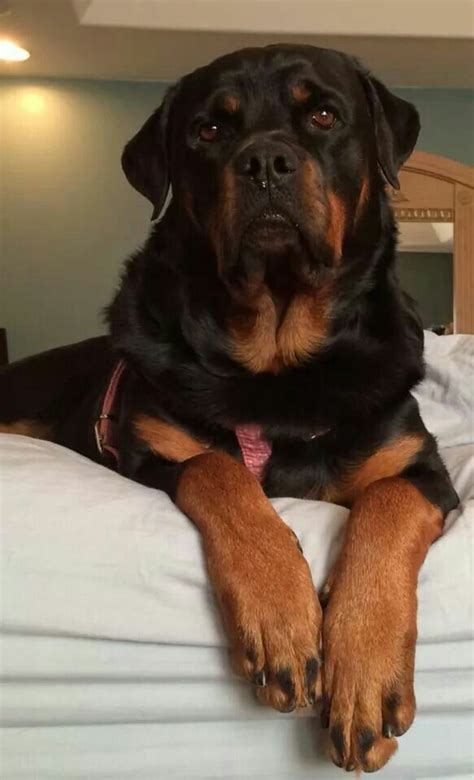 rottweiler puppies fayetteville nc 510 best images about rottweiler bullmastiff corso on
