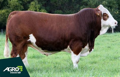 Jual Bibit Sapi Perah Unggul perbandingan harga sapi simental dan sapi limosin