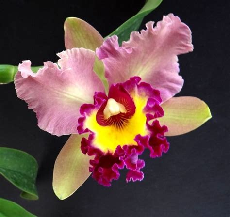 25 best ideas about cattleya orchid on pinterest unusual flowers beautiful flowers pics and