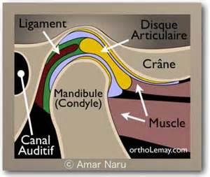 anatomie de articulation temporo mandibulaire