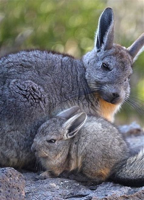 like a bunny looks like a viscacha to me if you aren t familiar with