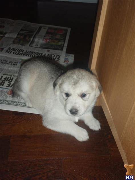 siberian husky golden retriever puppies for sale husky cross golden retriever puppies for sale 26079