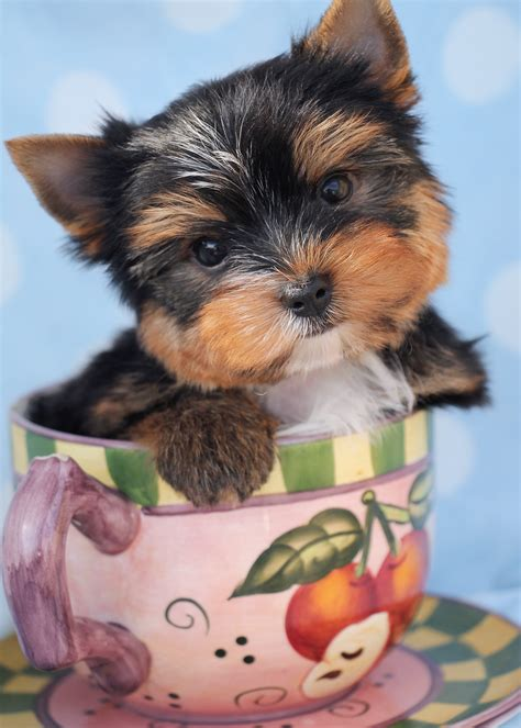 yorkie puppies for sale in south florida yorkie puppy for sale at teacups puppies boutique together with breeds picture
