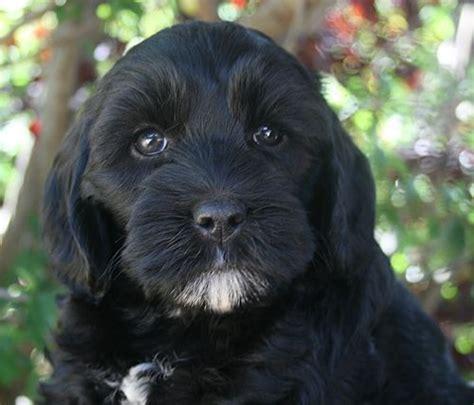 black labradoodle puppies for sale best 25 labradoodle puppies for sale ideas on