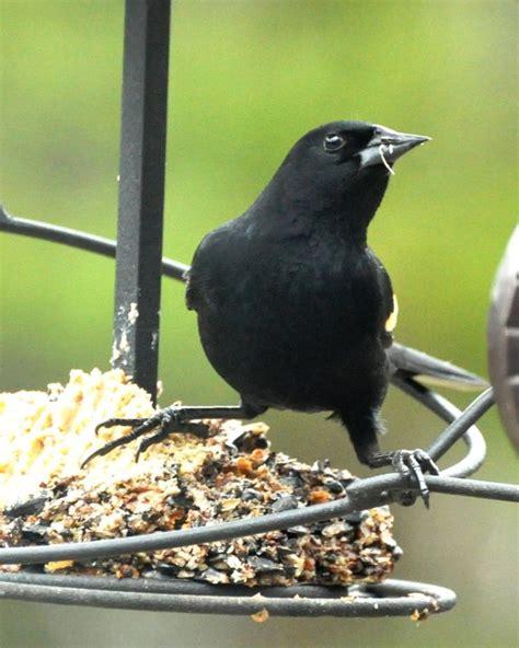 observing red winged blackbirds the zen birdfeeder