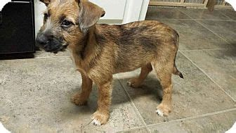 golden retriever schnauzer mix schnauzer standard golden retriever mix puppy for adoption in walker louisiana