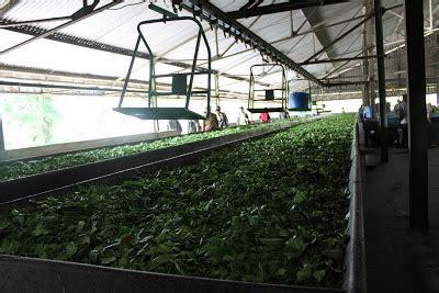 Teh Pucuk Dari Pabrik bandung mengintip proses pengolahan teh