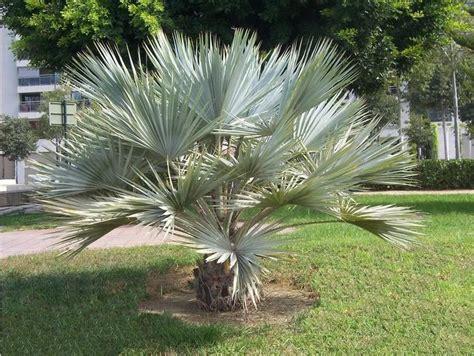 Le Palmier le palmier brahea armata ou palmier bleu du mexique