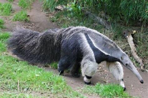 Electrika Panda 2 que come el hormiguero donde viven como nacen