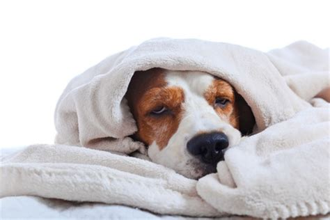 hypothermia in dogs signs symptoms of winter hypothermia in dogs waycooldogs