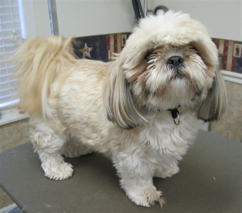 shih tzu hair care how to cut hair on a shihpoo 1000 images about shih poo dogs on shih poo